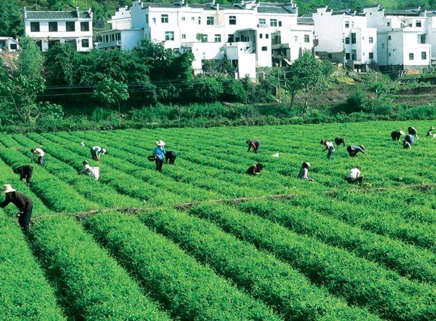 绞股蓝茶的制作工艺直接影响茶叶质量